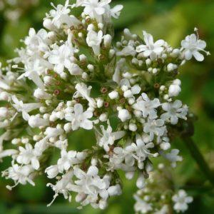Huile sèche de Chanvre – Fleur d'Héliotrope 50ml