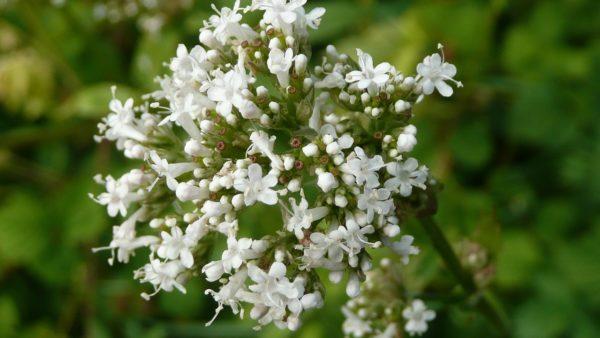 Fleur d'Héliotrope