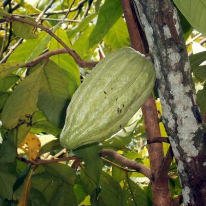 Cacao Bali