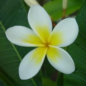 Fleur de Frangipanier Trésors de Bali